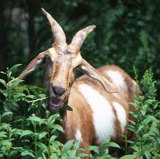 goats eat weeds