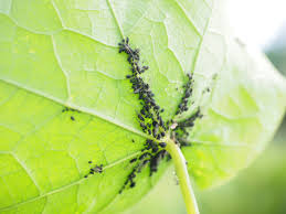 non toxic aphid control