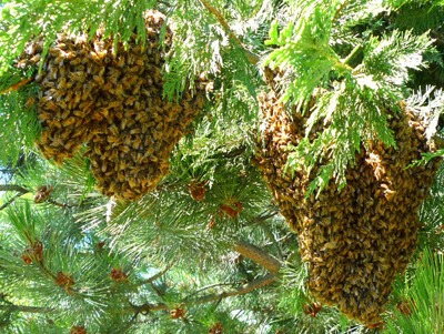 honeybee relocator, honeybee relocation, remove honeybees, Reno Honeybees, Reno Beekeeper